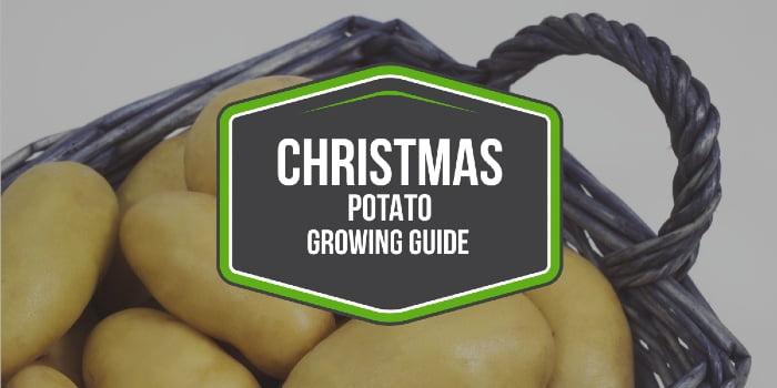 Christmas Potato Growing Guide