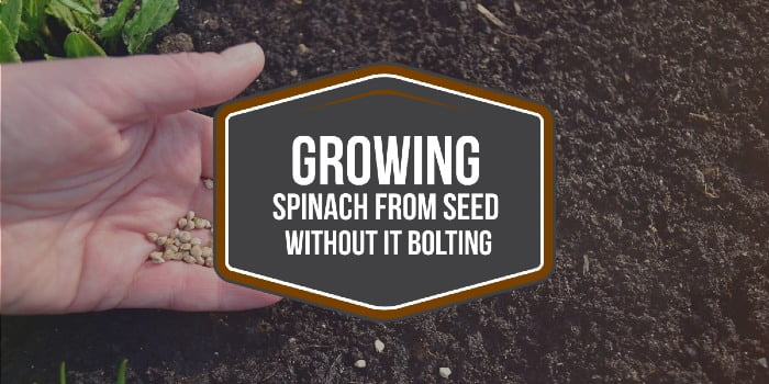 GROWING SPINACH FROM SEED WITHOUT IT BOLTING