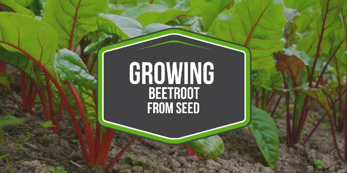 Growing Beetroot From Seed