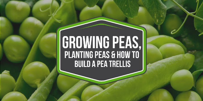 Growing Peas, Planting Peas & How To Build A Pea Trellis