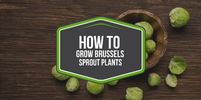 How To Grow Brussels Sprout Plants