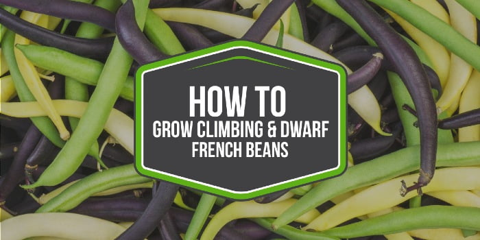 How To Grow Climbing And Dwarf French Beans For Early Harvests