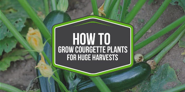 How To Grow Courgette Plants For HUGE Harvests
