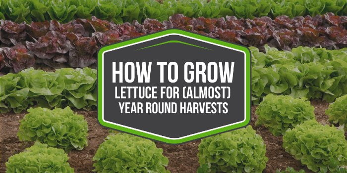 How To Grow Lettuce For (Almost) Year Round Harvests