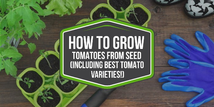 How To Grow Tomatoes From Seed (including best tomato varieties!)