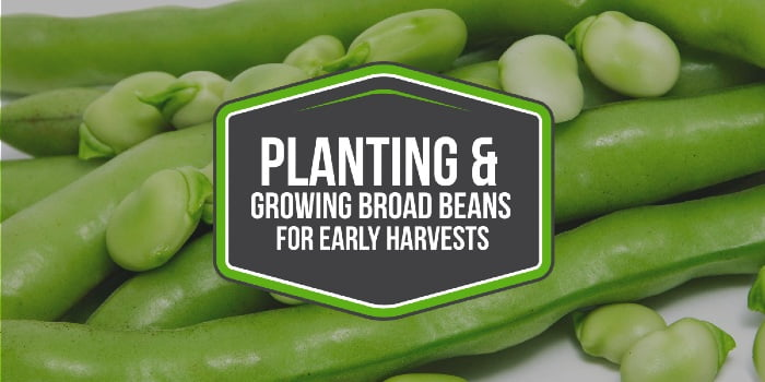 Planting & Growing Broad Beans For Bumper Early Harvests