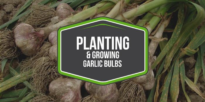 Planting and Growing Garlic Bulbs