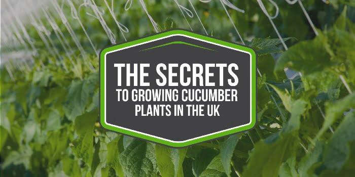 The Secrets To Growing Cucumber Plants Successfully In The UK