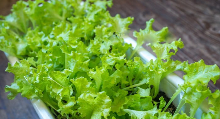 lettuce grown in container