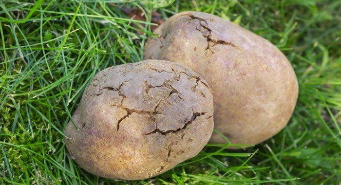 potatoes with bacterial disease