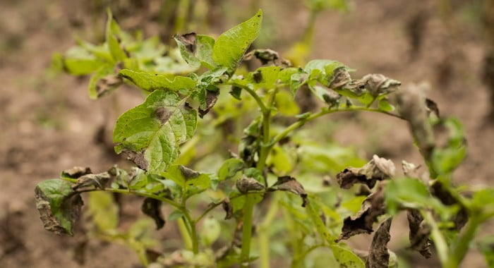 potato plant with late blight