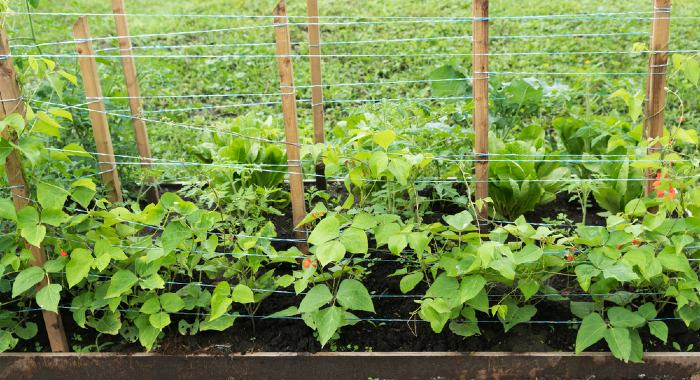 runner beans with support