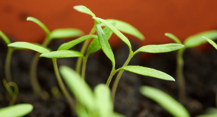 Transplanting tomatoes from seed