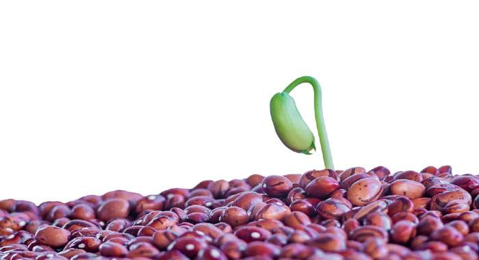 bean seedling emerging